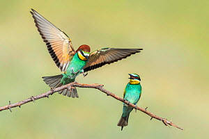 European Bee-eater (Merops apiaster) pair, Bulgaria, May. - Guy Edwardes