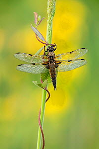 Four-Spotted chaser dragonfly (Libellula quadrimaculata), Westhay, Somerset Levels, Somerset, England, UK, June. - Guy Edwardes