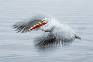 Dalmatian pelicans (Pelecanus crispus) in flight, blurred motion. Lake Kerkini, Greece  -  Guy Edwardes