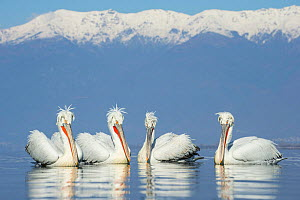 Dalmatian pelicans (Pelecanus crispus) group, Lake Kerkini, Greece  -  Guy Edwardes