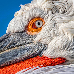 Dalmatian Pelican (Pelecanus crispus) portrait, close-up, Lake Kerkini, Greece  -  Guy Edwardes