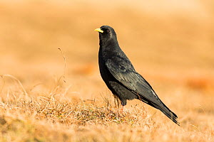 Alpine Chough (Pyrrhocorax graculus), Slovenia, February.  -  Guy Edwardes