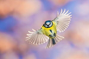 Blue tit (Cyanistes caeruleus) in flight, Slovenia, February.  -  Guy Edwardes