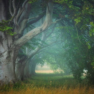 Beech tree (Fagus sylvatica) avenue at Kingston Lacey, Wimborne, Dorset, England, UK, August.  -  Guy Edwardes