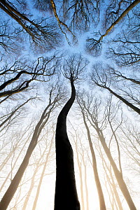 Low angle view of Beech trees (Fagus sylvatica), Compton Down, Dorset, England, UK, March.  -  Guy Edwardes