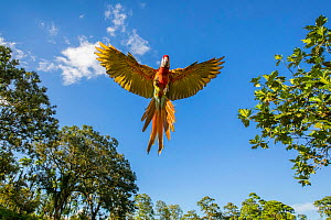 Scarlet Macaw (Ara macao) in flight, Costa Rica - Guy Edwardes