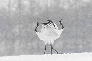 Red-crowned crane (Grus japonensis) courtship dance in snow, Hokkaido, Japan  -  Guy Edwardes