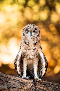 RF - Spotted eagle owl (Bubo africanus) immature, Kgalagadi Transfrontier Park, Northern Cape Province, South Africa.(This image may be licensed either as rights managed or royalty free.)  -  Richard Du Toit