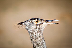 Kori bustard (Ardeotis kori) close-up of head, Kgalagadi Transfrontier Park, Northern Cape Province, South Africa.  -  Richard Du Toit