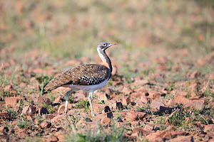 Ludwig's bustard (Neotis ludwigii), Mountain Zebra National Park, Eastern Cape Province, South Africa. Endangered species. - Richard Du Toit