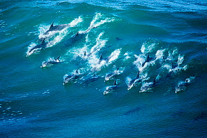 RF - Indo-Pacific bottlenose dolphin (Tursiops aduncus) pod surfing in Indian Ocean, South Africa. (This image may be licensed either as rights managed or royalty free.)  -  Richard Du Toit
