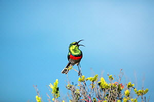 Southern double-collared sunbird (Cinnyris chalybeus), male perched in fynbos habitat, Western Cape Province, South Africa. Endemic species to this region.  -  Richard Du Toit