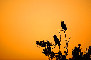 Spotted eagle owl (Bubo africanus) two perched in tree at sunrise, Western Cape Province, South Africa. - Richard Du Toit