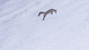 Red fox (Vulpes vulpes) hunting in the snow, Switzerland, February.  -  Laurent Geslin