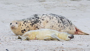 Female Grey seal (Halichoerus grypus) and newborn pup with umbilical cord still attached, resting on beach, Heligoland, Germany.  -  Edwin Giesbers