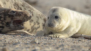 Female Grey seal (Halichoerus grypus) with pup, Heligoland, Germany.  -  Edwin Giesbers