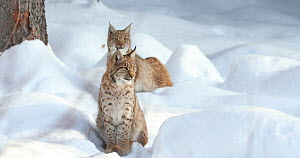 Two Lynx (Lynx lynx) walking though snow, Bavarian Forest National Park, Bavaria, Germany, January. Captive. - Kerstin Hinze