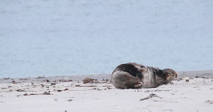 Male Grey seal (Halichoerus grypus) hauled out on a beach, Heligoland, Schleswig-Holstein, Germany, December.  -  Kerstin Hinze