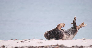 Male Grey seal (Halichoerus grypus) hauled out on a beach, yawning, Heligoland, Schleswig-Holstein, Germany, December.  -  Kerstin Hinze