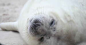 Close-up of a Grey seal pup (Halichoerus grypus) on a beach, Heligoland, Schleswig-Holstein, Germany, December.  -  Kerstin Hinze