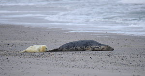 Female Grey seal (Halichoerus grypus) with pup on a beach, pup playing with pebbles, Heligoland, Schleswig-Holstein, Germany, December.  -  Kerstin Hinze