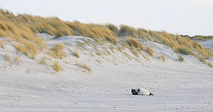 Grey seal pup (Halichoerus grypus) on beach in front of sand dunes, Heligoland, Schleswig-Holstein, Germany, December.  -  Kerstin Hinze