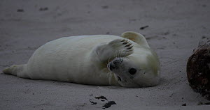 Grey seal pup (Halichoerus grypus) on a beach, Heligoland, Schleswig-Holstein, Germany, December.  -  Kerstin Hinze