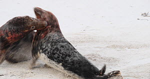Two male Grey seals (Halichoerus grypus) fighting on a beach, Heligoland, Schleswig-Holstein, Germany, December.  -  Kerstin Hinze