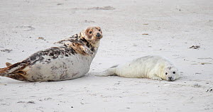 Female Grey seal (Halichoerus grypus) playing with pup on a beach, tickling, Heligoland, North Sea, Schleswig-Holstein, Germany, December.  -  Kerstin Hinze