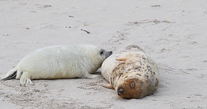 Grey seal pup (Halichoerus grypus) suckling on a beach, Heligoland, North Sea, Schleswig-Holstein, Germany, December.  -  Kerstin Hinze