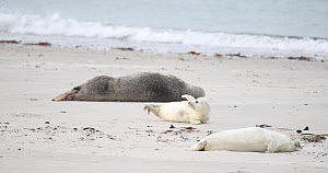 Grey seal (Halichoerus grypus) and two pups resting on a beach, Heligoland, Schleswig-Holstein, Germany, December.  -  Kerstin Hinze