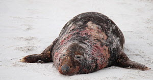 Male Grey seal (Halichoerus grypus) resting on a beach, bloody after a fight, Heligoland, Schleswig-Holstein, Germany, December.  -  Kerstin Hinze