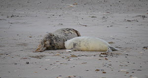Grey seal pup (Halichoerus grypus) suckling on a beach, Heligoland, Schleswig-Holstein, Germany, December. - Kerstin Hinze