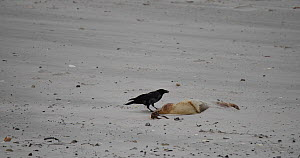 Carrion crow (Corvus corone) scavenging from a dead Grey seal pup (Halichoerus grypus), Heligoland, Schleswig-Holstein, Germany, December.  -  Kerstin Hinze