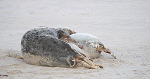 Pair of Grey seals (Halichoerus grypus) mating on a beach, Heligoland, Schleswig-Holstein, Germany, December.  -  Kerstin Hinze
