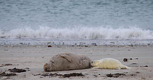 Grey seal pup (Halichoerus grypus) suckling, Heligoland, Schleswig-Holstein, Germany, December. - Kerstin Hinze
