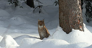 Juvenile Lynx (Lynx lynx) looking around, sitting in snow under a tree, Bavarian Forest National Park, Bavaria, Germany, January. Captive. - Kerstin Hinze