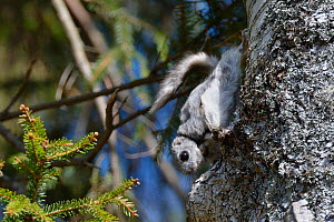 Siberian flying squirrel (Pteromys volans) wearing a radiocollar hangs on the trunk of a Downy birch tree (Betula pubescens) near its nest hole in mature mixed forest, near Iisaku, Estonia, April.  -  Nick Upton