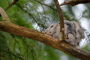 Siberian flying squirrel (Pteromys volans) defaecating from a branch in mature mixed forest, near Iisaku, Estonia, April.  -  Nick Upton