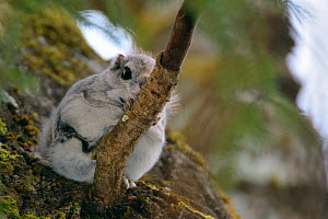 Siberian flying squirrel (Pteromys volans) sitting on a branch in mature mixed forest, near Iisaku, Estonia, April.  -  Nick Upton