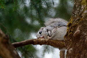 Siberian flying squirrel (Pteromys volans) wearing a radiocollar sitting on a branch in mature mixed forest, near Iisaku, Estonia, April.  -  Nick Upton