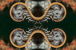 Kaleidoscopic image of a featherstar. Indonesia.  -  Georgette Douwma