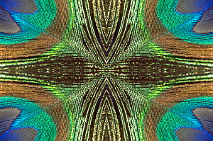 Kaleidoscopic montage of a peacock feather. - Georgette Douwma