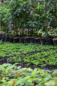 Tree saplings and seedlings for reforestation project, Madagascar Biodiversity Partnership Kianjavato, Ranomafana, Madagascar. - TJ Rich
