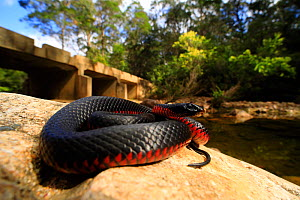 Red-bellied blacksnake (Pseudechis porphyriacus) female from the upper Pambula River, New South Wales, Australia.  -  Robert Valentic