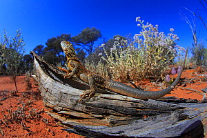 Western netted dragon (Ctenophorus reticulatus) male, from Paynes Find, Western Australia. - Robert Valentic