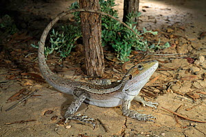 Burn's dragon (Amphibolurus burnsi) male lizard, Brigalow habitat near Hebe, Queensland., Australia, January. - Robert Valentic