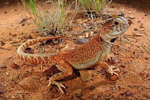 Gibber Dragon (Ctenophorus gibba) male, near Marree in central South Australia. - Robert Valentic