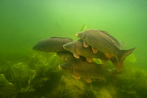 Carp (Cyprinus carpio), at spawning period, female with males over spawning ground in the middle of European white waterlily (Nymphaea alba), Lake Morat, close to Faoug, Canton of Fribourg, Switzerlan...  -  Michel Roggo