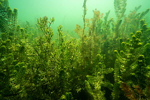 Spiny water nymph (Najas marina), Eurasian watermilfoil (Myriophyllum spicatum) and other aquatic plants, Lake Morat, close to Faoug, Canton of Vaud, Switzerland September. Photographed for The Freshw...  -  Michel Roggo